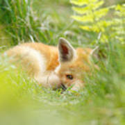 The Fox Kit And The Ferns Art Print