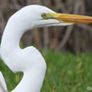 The Great White Egret Art Print