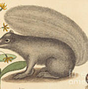 The Grey Fox Squirrel (sciurus Cinereus) Art Print
