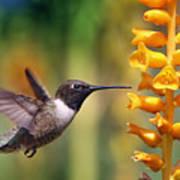 The Hummingbird And The Bee Art Print