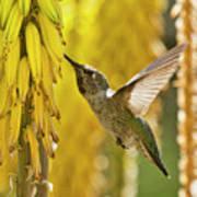 The Hummingbird And The Yellow Aloe  Art Print