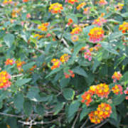 The Lantana In The Near 20 Art Print