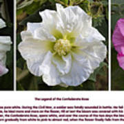 The Legend Of The Confederate Rose Art Print