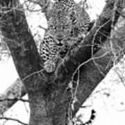 The Leopard's Stare Art Print
