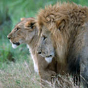 The Lion And His Lioness Art Print