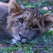 The Lion Cub Art Print