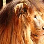The Lion King's New Hairdont Art Print