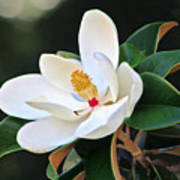 The Magnolia Art Print by Mamie Thornbrue
