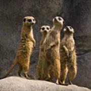 The Meerkat Four Art Print