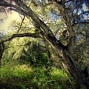 The Mighty Oaks Of Garland Ranch Park 1 Art Print