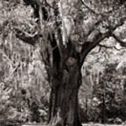The Old Oak Is Still Standing Art Print