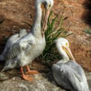 The Pelicans Art Print