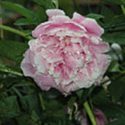 The Peony In Mears Park On A Rainy Day Art Print
