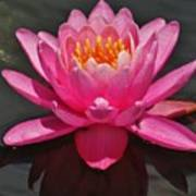 The Pink Water Lily Art Print