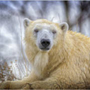 The Polar Bear Stare Art Print