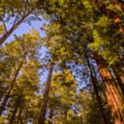 The Portola Redwood Forest Art Print