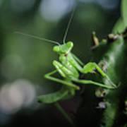 The Praying Mantis Art Print