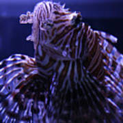 The Red Lionfish Art Print