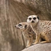 The Rock Of Meerkats Art Print