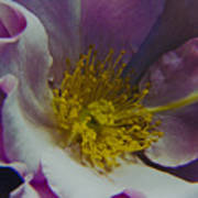 The Rose Bowl Art Print