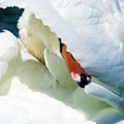 The Seductive Swan Art Print