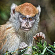 The Stare A Baby Patas Monkey  Art Print