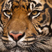 The Sumatran Tiger Cat Art Print