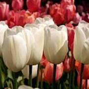 The Tulip Bloom Art Print