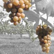 The Vineyard 2  Art Print