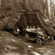 The Wawona Tree Mariposa Grove, Yosemite  Circa 1916 Art Print