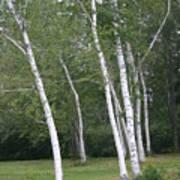 The White Birch Art Print