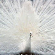 The White Peacock Art Print