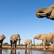 Thirsty Elephants Art Print