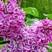 This Lilac Has Flowers With A White Edging.1 Art Print