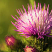 Thistle Flowers Art Print