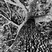 Thorn Tree Black And White Art Print