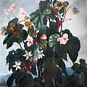 Thornton: Begonia Art Print