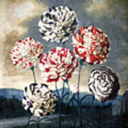 Thornton: Carnations Art Print