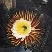 Thornton: Cereus Art Print