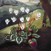 Thornton: Cyclamen Art Print