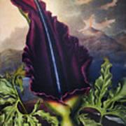 Thornton: Dragon Arum Art Print