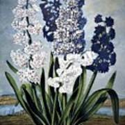 Thornton: Hyacinths Art Print
