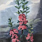 Thornton: Kalmia Art Print