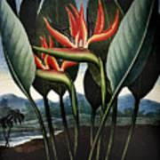 Thornton: Strelitzia Art Print