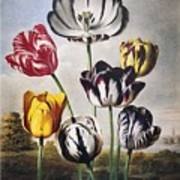 Thornton: Tulips Art Print
