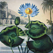 Thornton: Water Lily Art Print