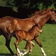 Thoroughbred Chestnut Mare & Foal Art Print