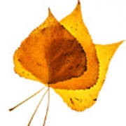 Three Backlit Cottonwood Leaves In Autumn On White Art Print