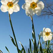 Three Backlit Jonquils From Below Art Print