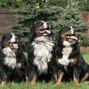 Three Bernese Mountain Dog Portrait Art Print